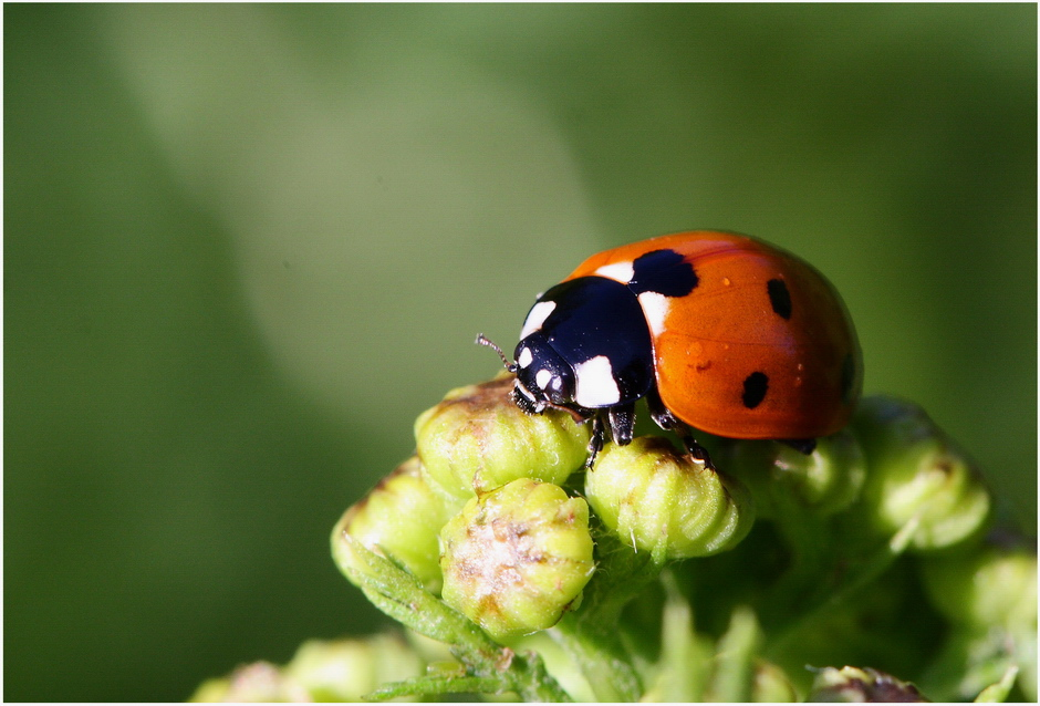 Une coccinelle à 7 points