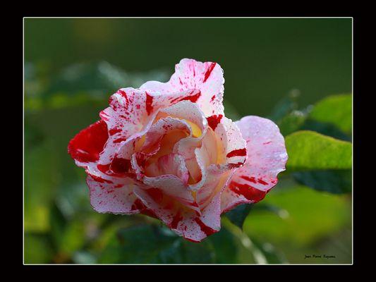 une dernière rose ...