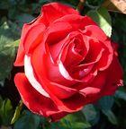une des rose parmis d autre de deux ton