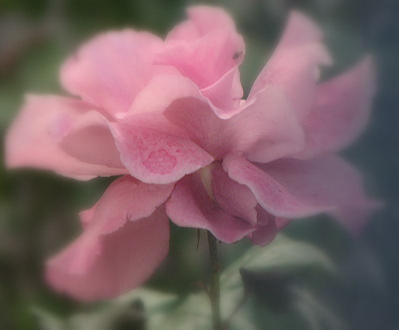 Une douceur rose