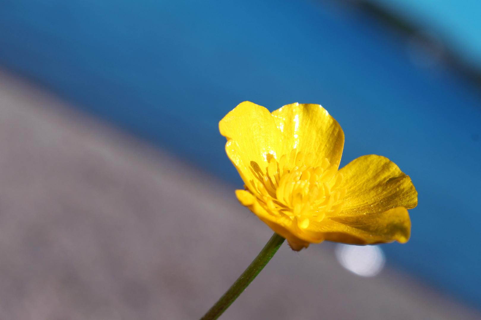 Une fleur de beurre au bord du lac