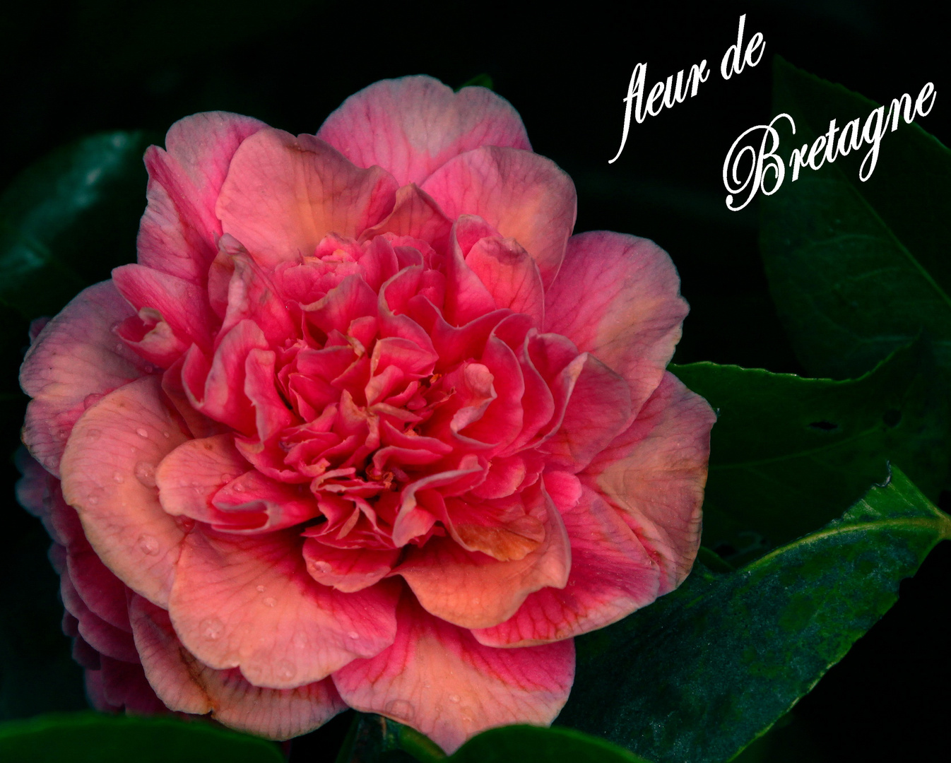 une fleur de Bretagne
