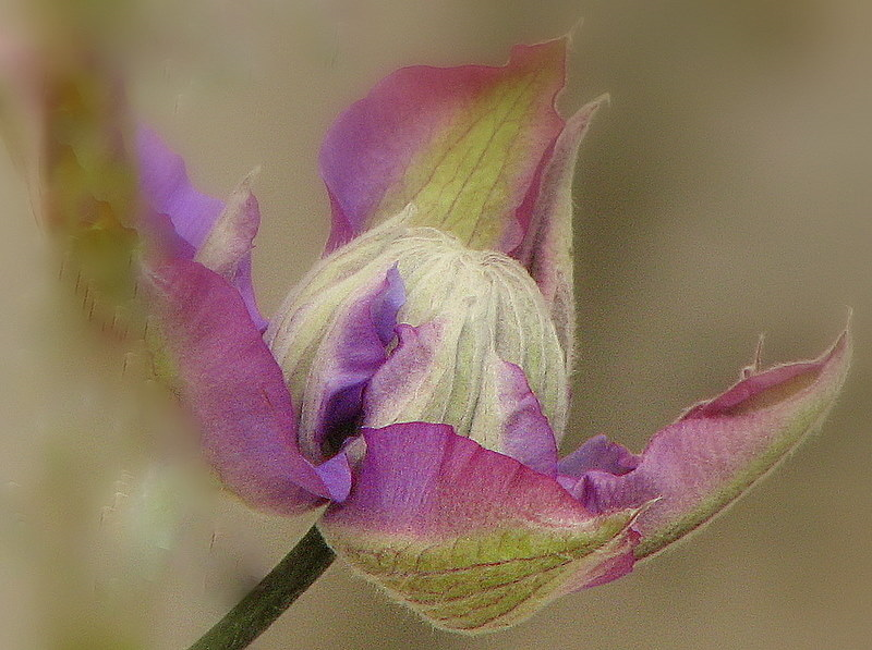 Une fleur de clématite
