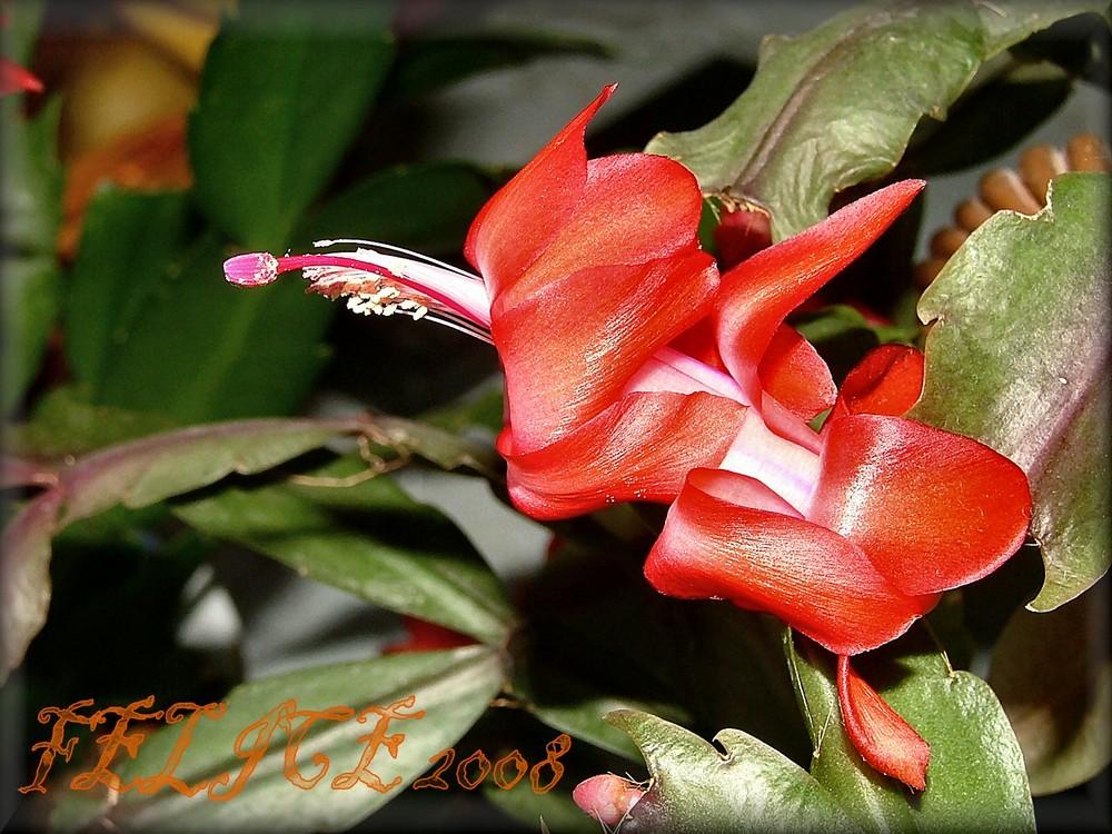 Une fleur de Noël