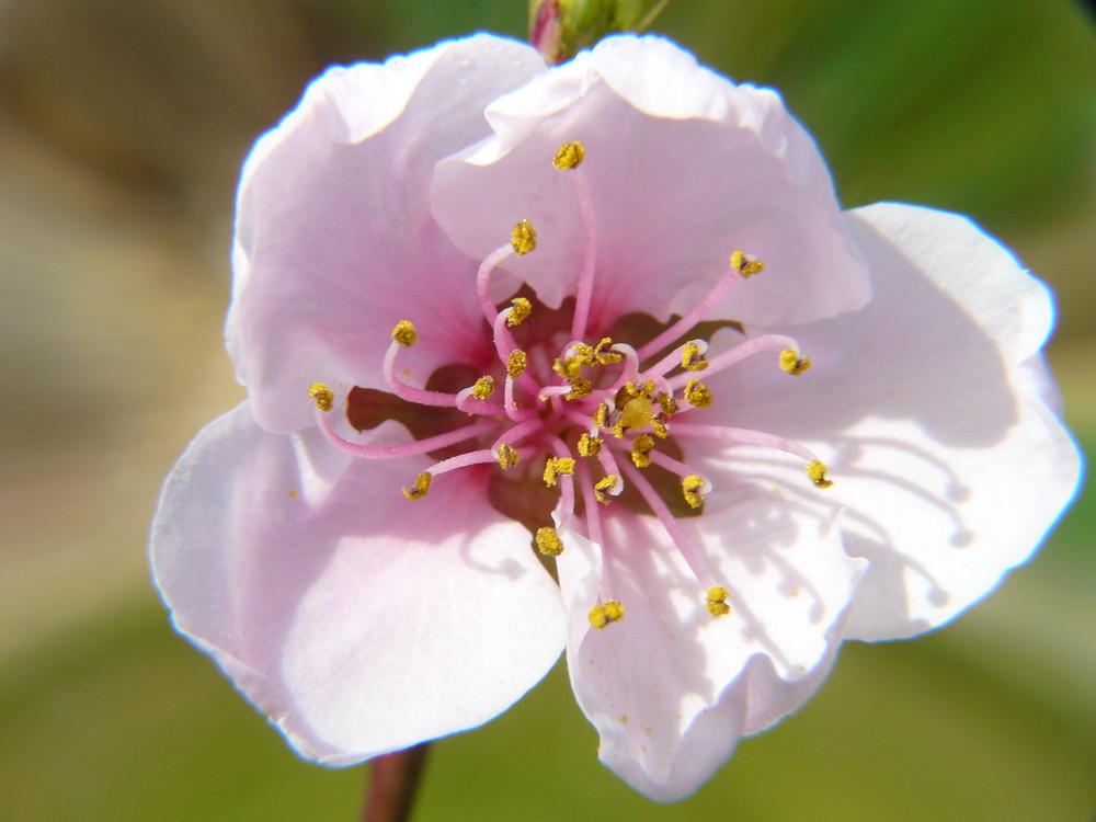 une fleur de pèche