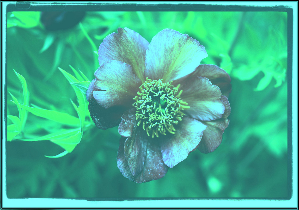 une fleur de pivoine sous-marine!