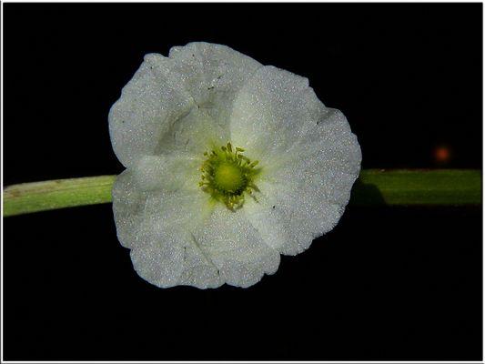Une fleur... la nuit