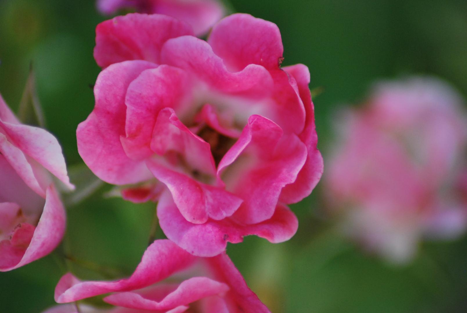Une fleur pour vous Madame
