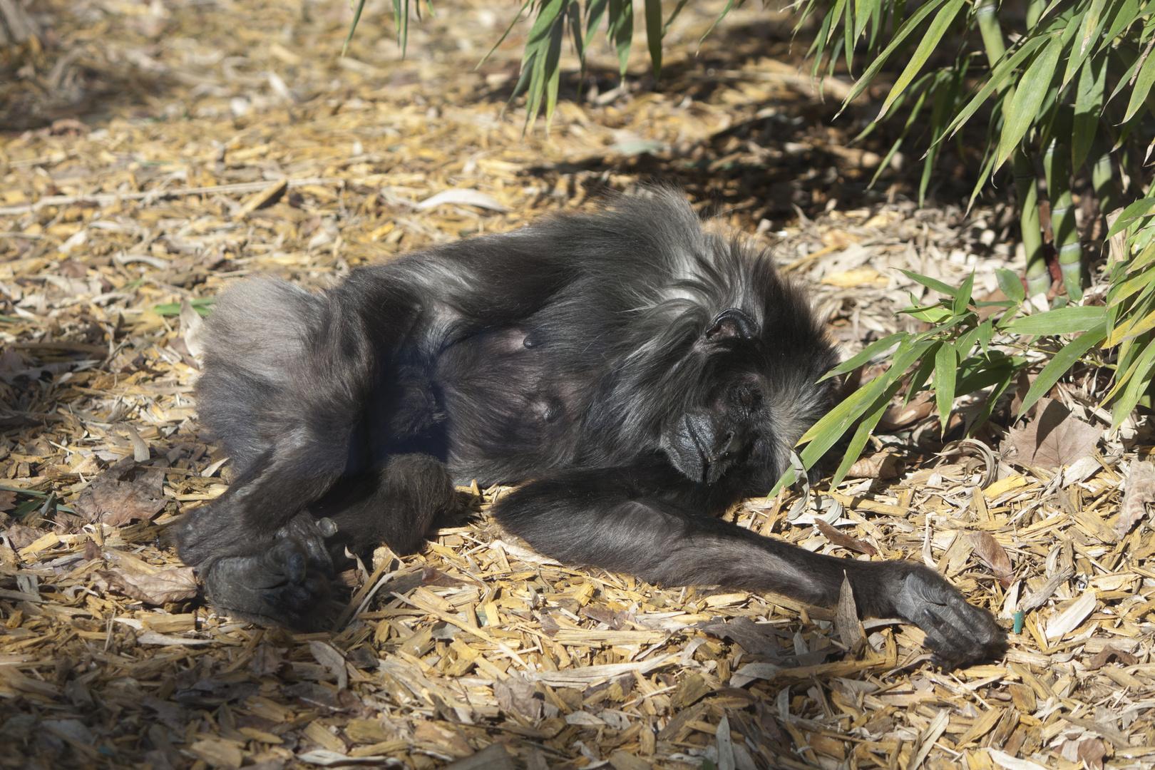 Une Gibbon