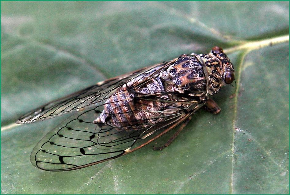 une grande cigale ou cicada orni.