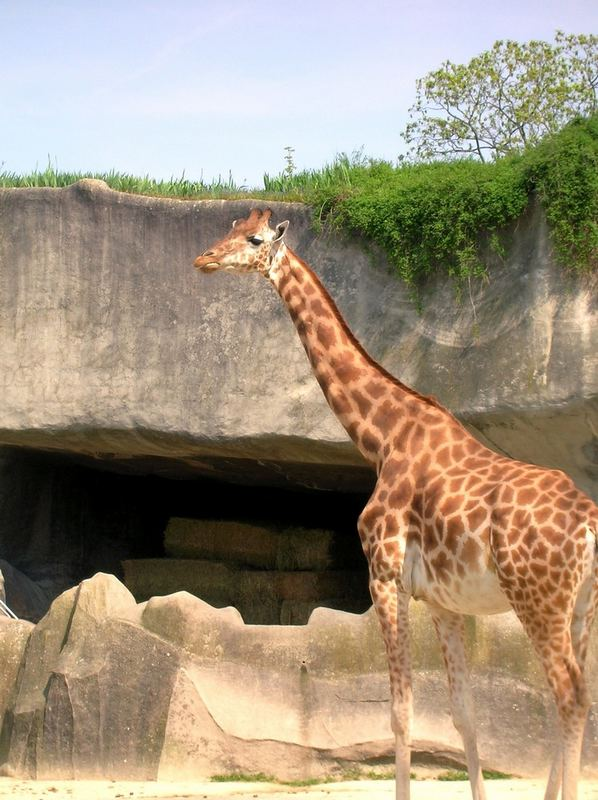Une grande girafe