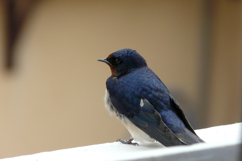 Une hirondelle au balcon