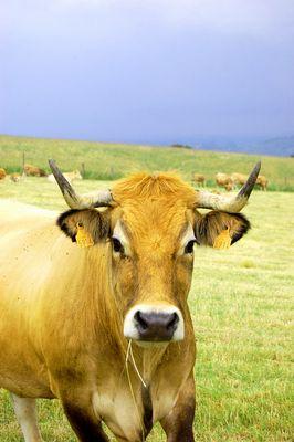 Une jolie vache Aubrac
