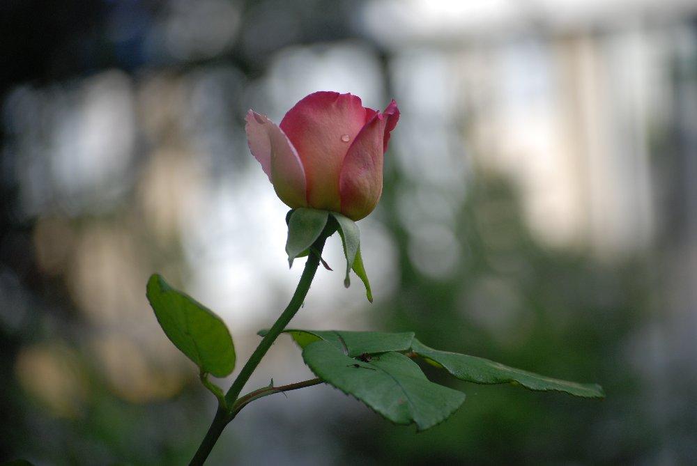 une larme de rosée sur une rose