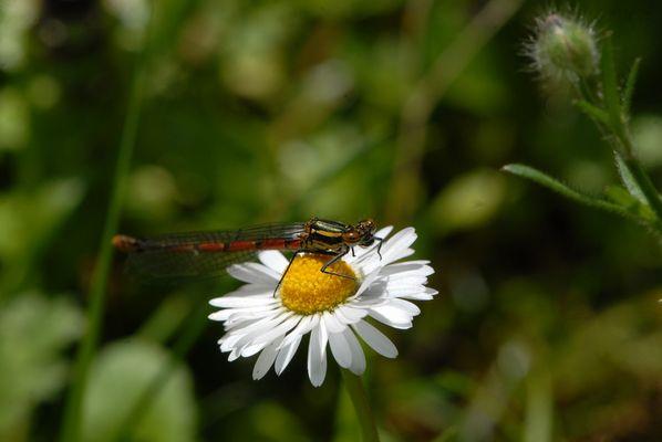 une libellule