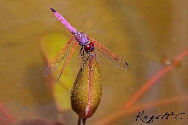 Une libellule mauve/ rose