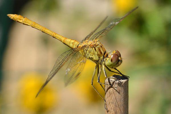 Une libellule pour nous faire penser à l'été...