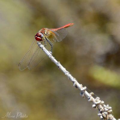 Une libellule prend la pose