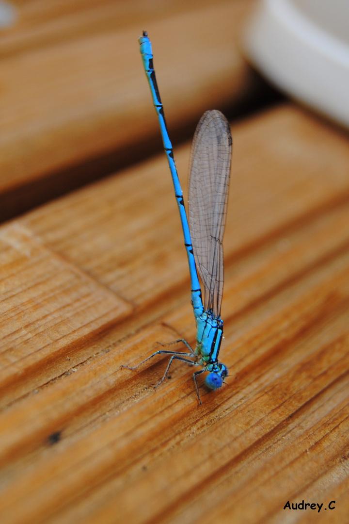 Une magnifique Libellules Bleu ....