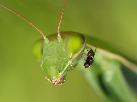 une mante qui prend la mouche