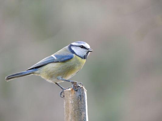 Une mésange bleue au piquet