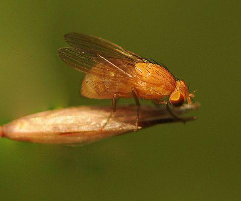 une mouche en or