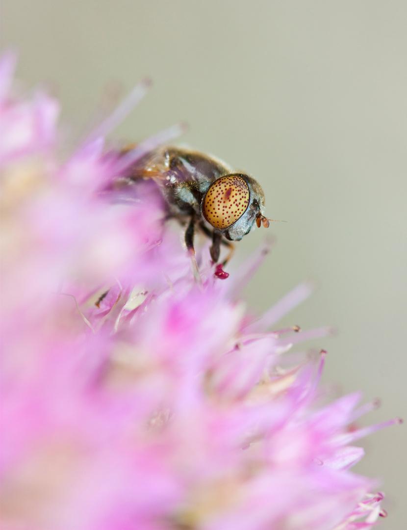 Une mouche en train de butiner une fleur.