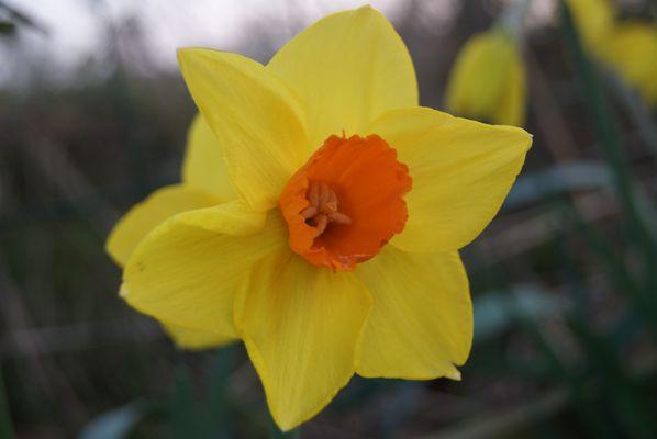 Une Narcisse à l'ombre