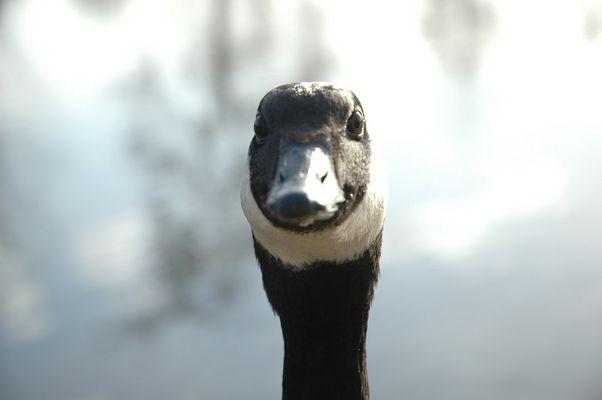 une oie au lac des ibis (78)