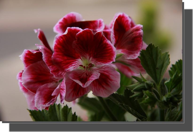 une petite fleur de géranium