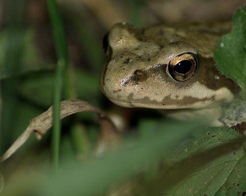Une petite grenouille de Mazurie.