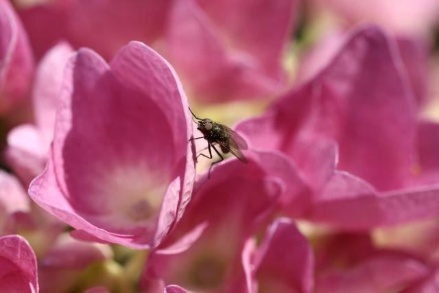 une petite mouche dans mes hortensias