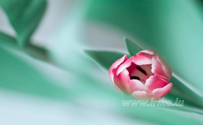 Une petite tulipe