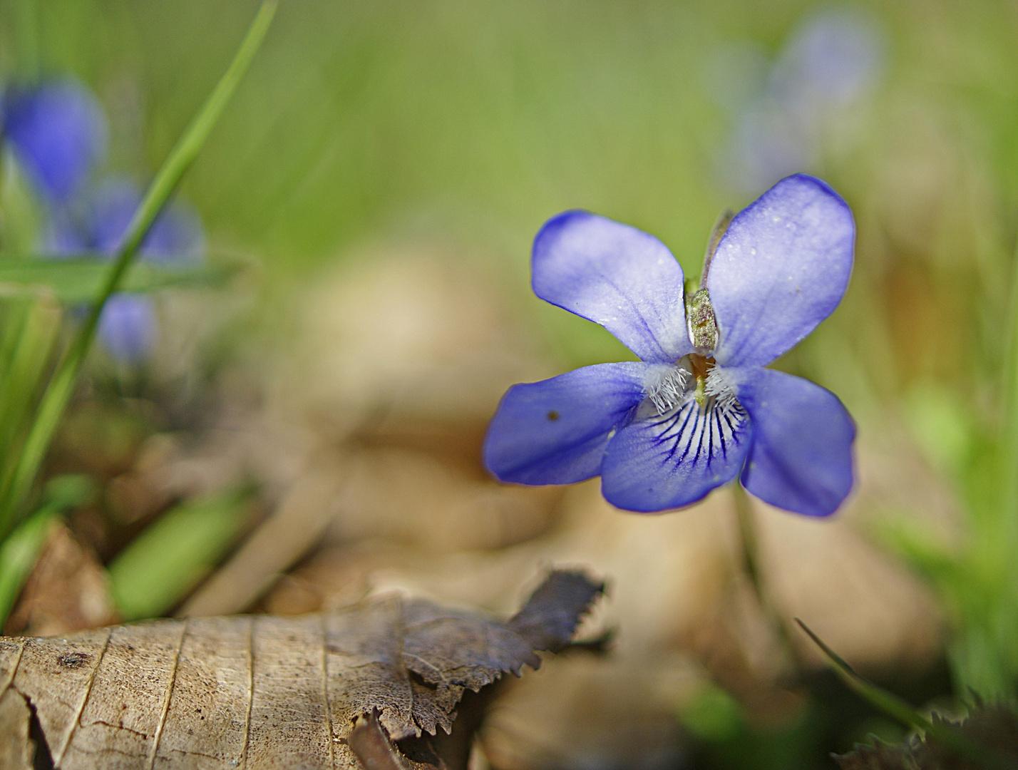 une petite violette