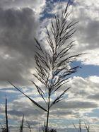 Une plume végétale au vent de Camargue