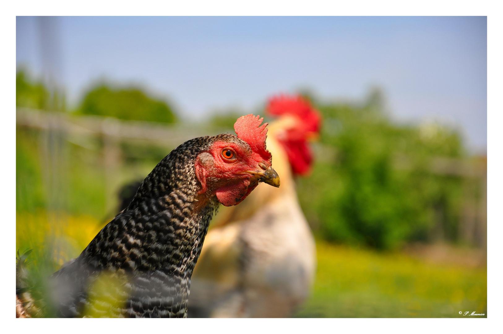 Une poule peut en cacher une autre