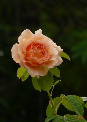 Une rose !!