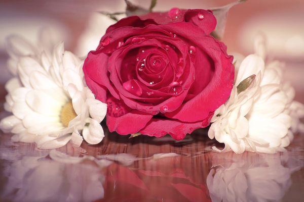 Une rose au bord de l'eau