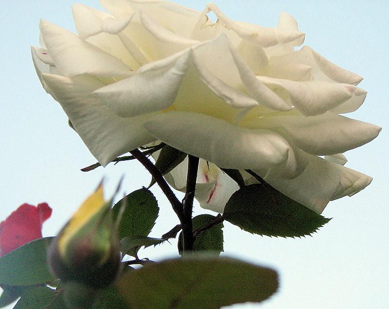 Une rose blanche et ses enfants de couleur...