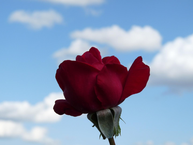 Une rose dans le ciel de St Cloud