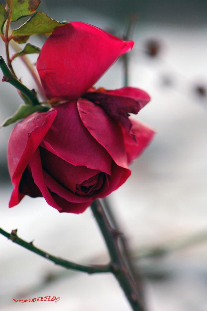 une rose dans le froid de l'hiver