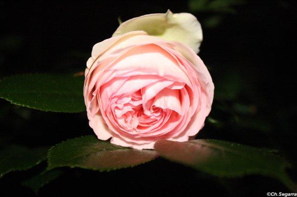 Une rose de seine et marne