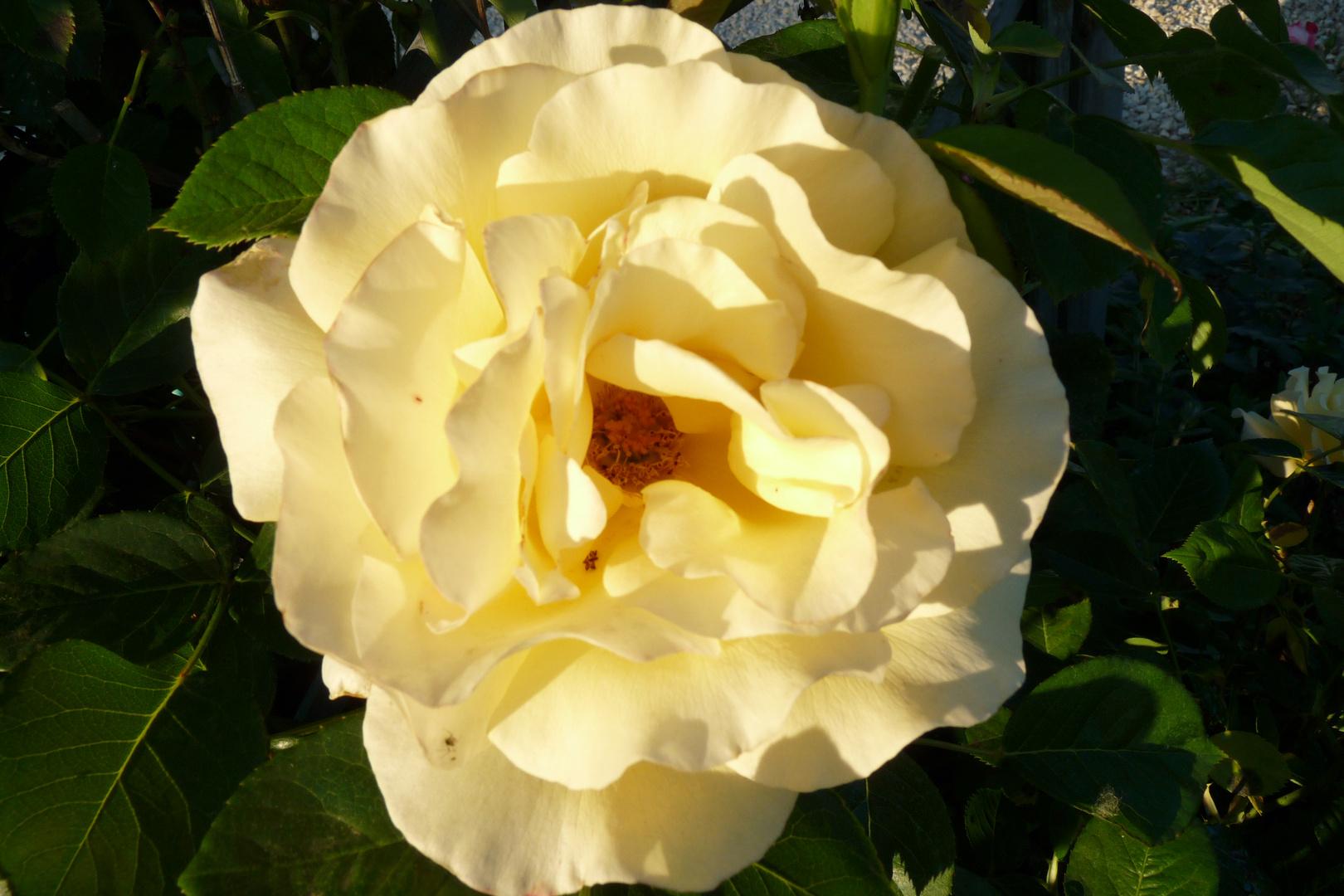 une rose est éclose