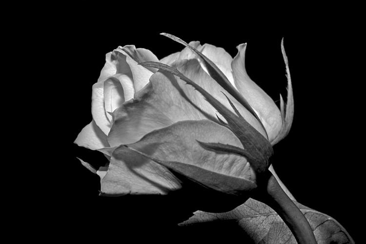 une rose macro ....