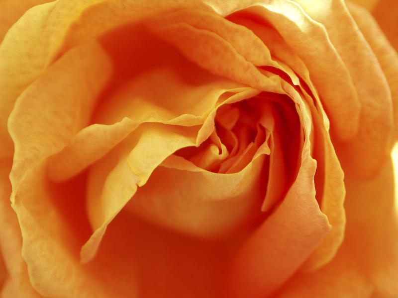 Une rose orangée