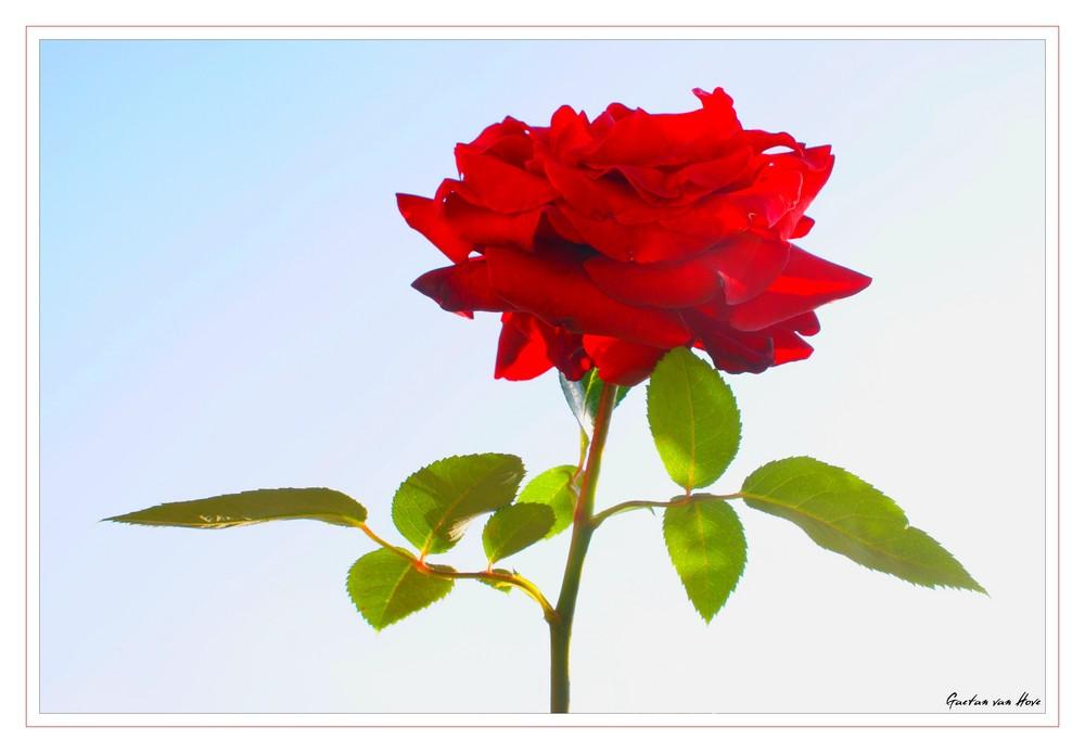 une rose pas rose..