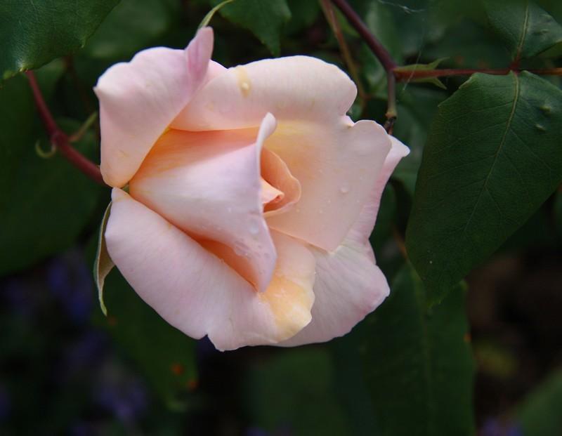 une rose pour..........