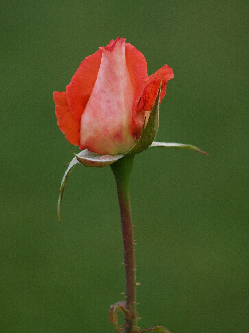 une rose pour joie