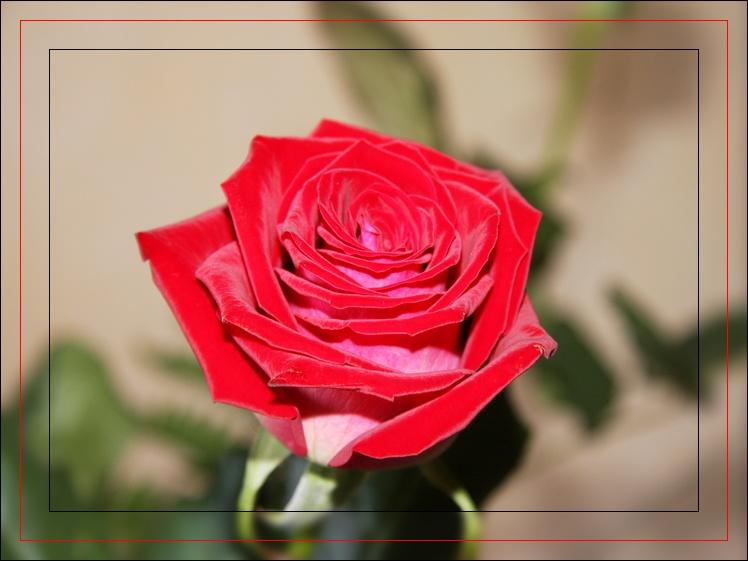 une rose pour la fête des mères.