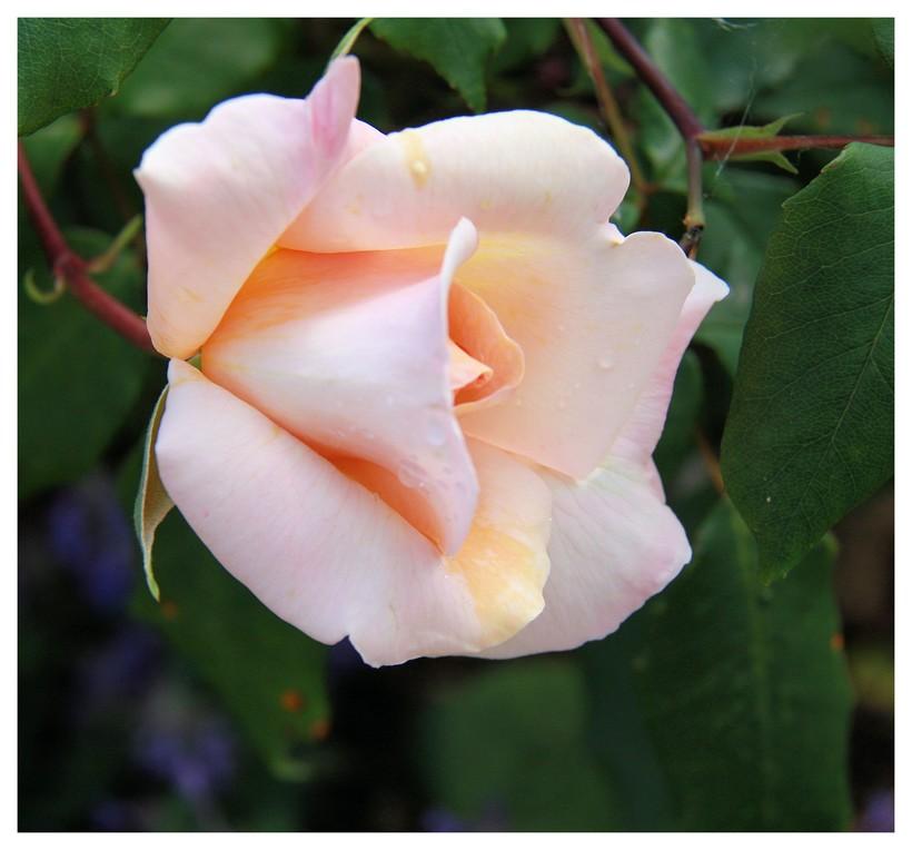 une rose pour remercier...